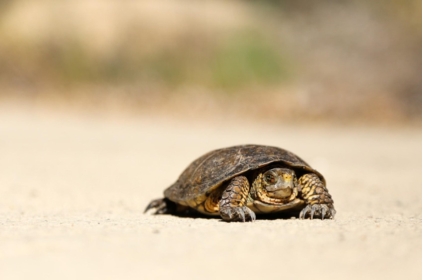 turtle walking in the sand